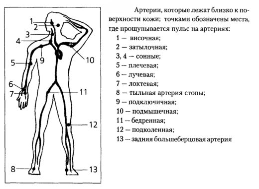 Схематическое изображение человека и точки пальпации (прощупывания) пульса