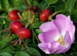 Цветок и плоды шиповника
