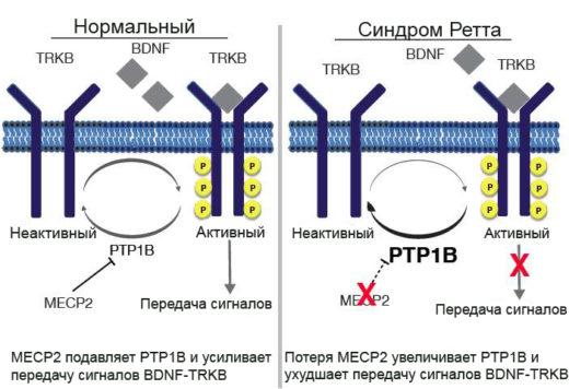 Схематическое изображение генетической поломки, провоцирующей развитие синдрома Ретта