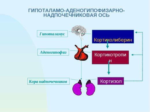 Система регуляции надпочечников