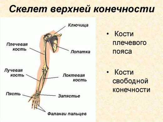 Скелет верхней конечности (схема)
