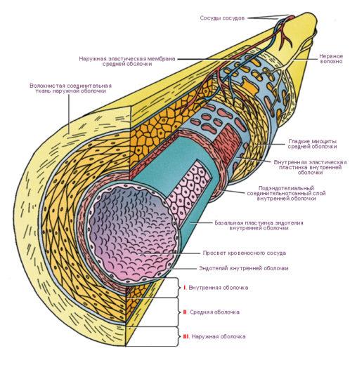 Слои аорты
