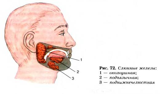 Слюнная железа