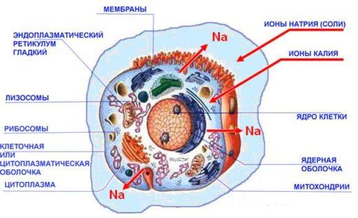 Содержание электролитов в клетке (схема)