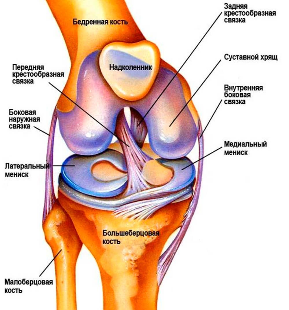 строение коленного сустава человека анатомия