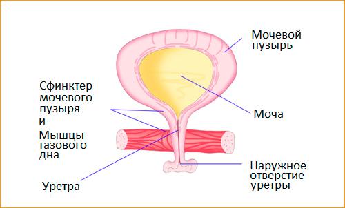 Строение мочевого пузыря и его сфинктеров