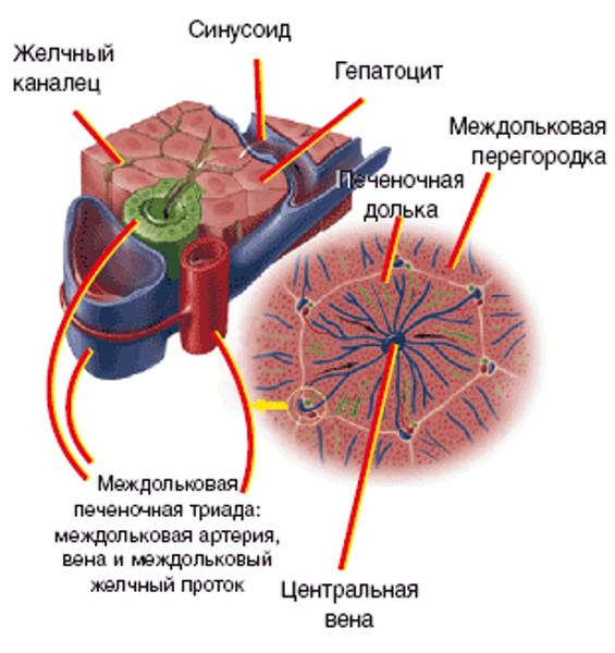 Диффузные изменения стенок протоков печени