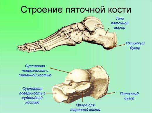 Строение пяточной кости