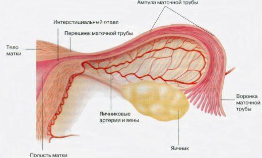 Репродуктивная система женщины