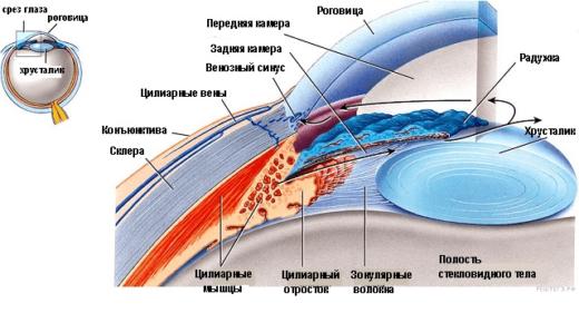 Строение угла передней камеры глаза