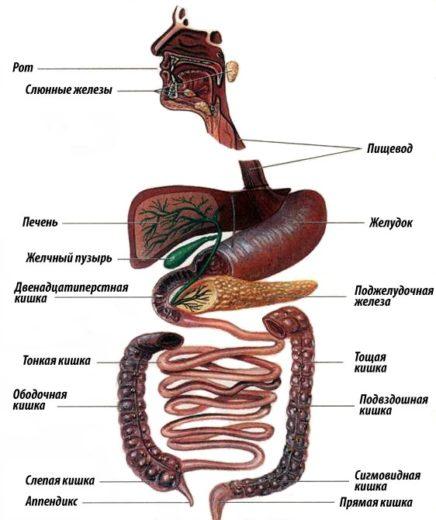Строение желудочно-кишечного тракта