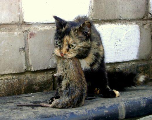Уличная кошка с крысой в зубах