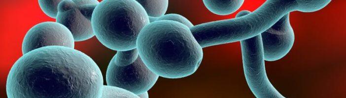 Вид микроорганизма Candida albicans под микроскопом