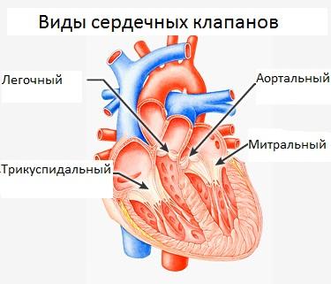 Виды и расположение сердечных клапанов