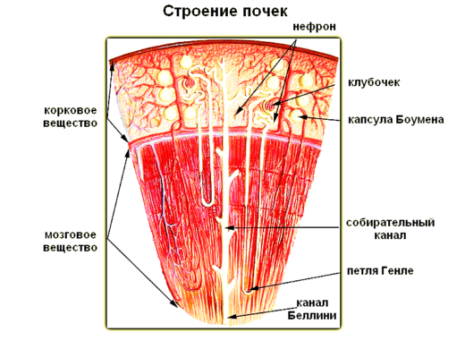 Внутреннее строение почки (схема)