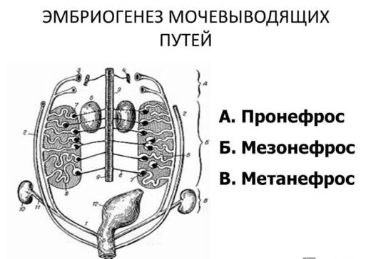 Внутриутробное развитие почек (схема)