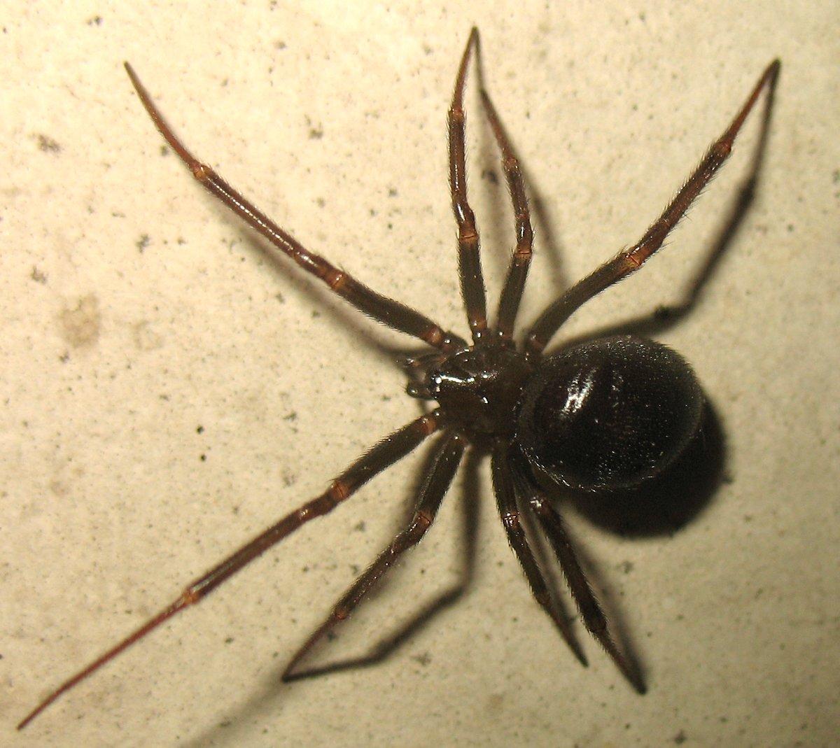 поговорить самой паук черного цвета фото и их описание дошло дело кухни