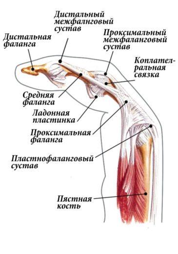 Строение пальца