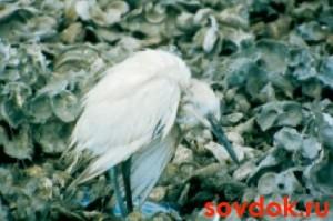 заражённая птица